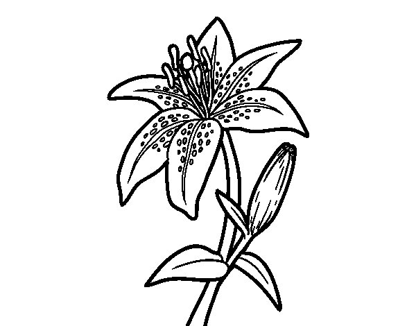 A lily coloring page