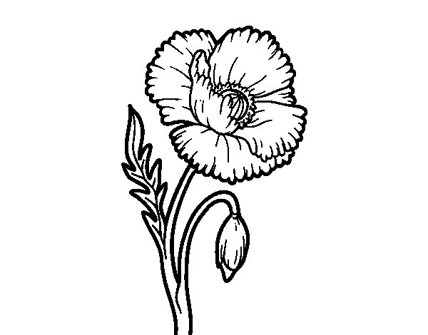 A poppy flower coloring page