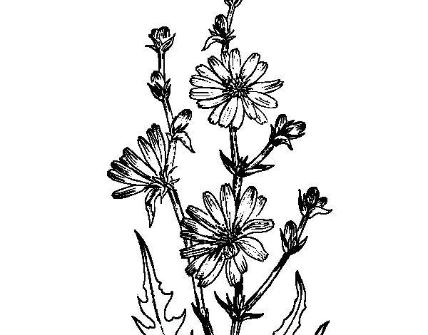 Chicory coloring page
