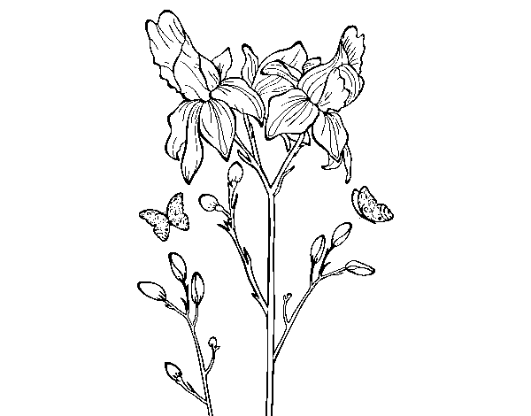 Iris flower coloring page